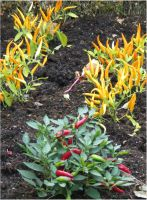 Chili-plants 2 by Kattvinge
