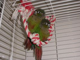 Green Cheek Conure Babies 3 by LexerJ