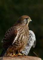 Female Kestrel 3 by Tinap