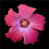 A Painted Hibiscus by Sunira