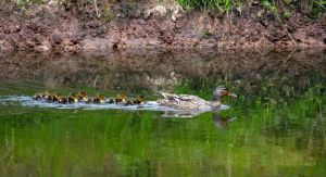 Mother duck taking the family for a paddle by Steve-FraserUK
