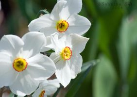 Narcissus by aheria