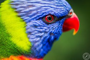 Rainbow Lorikeet by BlackSunRising