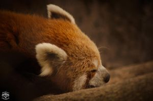 Sleeping Red Panda by sagnikarmakar