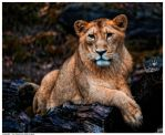 Indian Lion by Reto