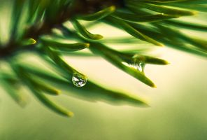 Drop On A Pine Needle by Nitrok