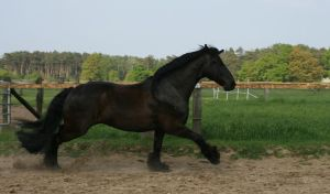 fast friesian galloping by Nexu4