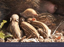 Little wild piggies 7 - Sleeping by ceeek-stock