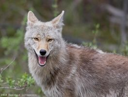 Coyote by Dani-Lefrancois