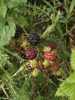 Blackberries by YesIamEccentric