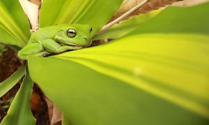 Green tree frog by AaronJJenkins