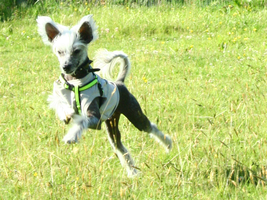 Chinese Crested Running 2 by romancer