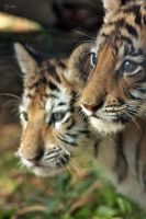 Tiger Cubs by Bliss89