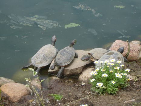 Rock Turtles by lily-monster