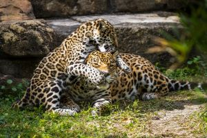 Jaguars 4 by 904PhotoPhactory