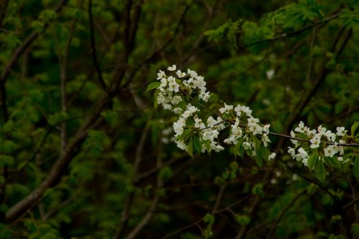 White flowers2 by Grahaz