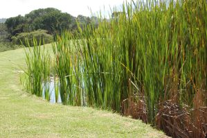 Reeds Stock by Storms-Stock