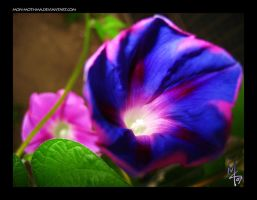 Morning Glory with flash by mon-mothma