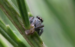 Jumping Spider by AdMalamCrucem