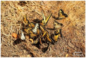 A Rabble of Butterflies Puddling. by TheMan268