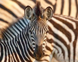 Dazzle of zebras by pollittpics