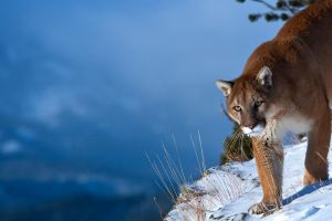 Puma concolor 18 by catman-suha