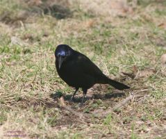 Common Grackle 1 by panda69680102
