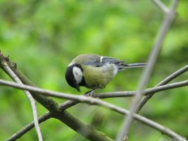 Titmouse of the spring by Momotte2