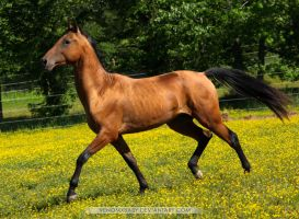 bay dun akhal teke stallion 2 by venomxbaby