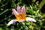 Wilde Tulpe / Wild Tulip 2 by bluesgrass