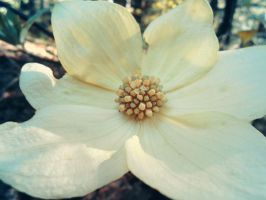 Dogwood flower by Mossfiresmoon