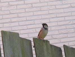 Sparrow on a Fence by zommy