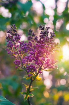 Lilacs 2017 by screenname911