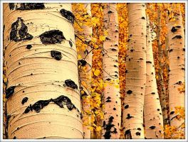 Quaking-aspen-trees by YOKOKY