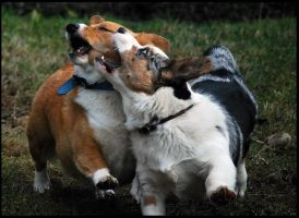 Colliding Corgis by SilverblueCat