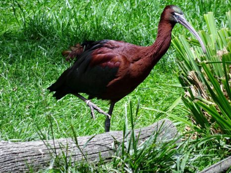 Glossy Ibis (Ibis Falcinelle) by NohlwaynKherVail