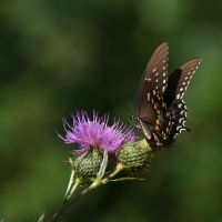 butterfly on thistle by davesbit