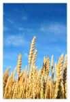 Golden Colours of Summer by antiparticle
