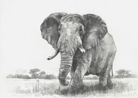 szkic slonia - elephant sketch by TomekO