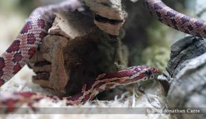 Juve Corn Snake by InsaneGelfling