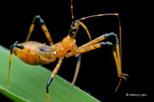Young Assassin Bug by melvynyeo