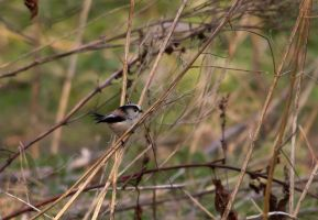 Long Tailed Tit by adambrowning