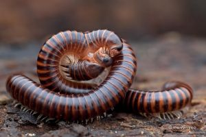 Mating Millipede by melvynyeo