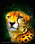 A Cheetah's Beauty by ICMDesigned