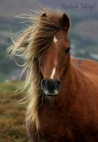 semi-wild mountain pony by imtl