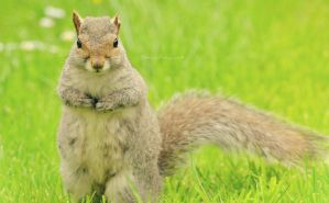 Grey Squirrel by EHilsdonPhotography