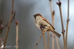 Sparrow by PhotoDragonBird