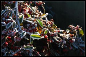 frost on berries by Demonoftheheavens