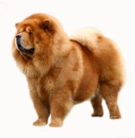 Chow Chow by RebeccaNewton