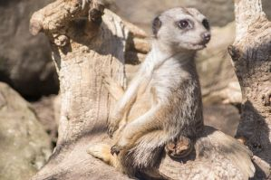 Sitting Meerkat by TheBirdsFeathers